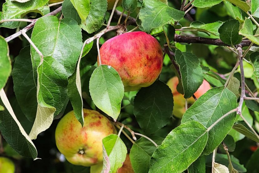 What Is Wrong With My Apples: Maggot Control